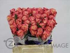 Today in the OZ Export webshop Novelties: Rosa gr. Lipstick, 35 cm, AA quality, x 40 st by Alani Gardens.