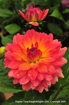Exotic Flowers from Thailand - Dahlia