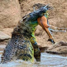 Fight between African Lion vs Nile crocodile is interesting to watch. Go further to know African Lion vs Nile crocodile fight. Reptiles And Amphibians, Mammals, Badass Pictures, Nile Crocodile, Nature Animals, Wildlife Nature, Nature Nature, Wild Animals, African Animals