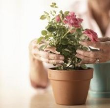 The Art Of Growing Mini Roses Indoors | Casa Latina interior design and remodeling