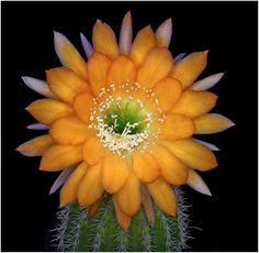"Trichocereus hybrid ""Arizona Sunset"""