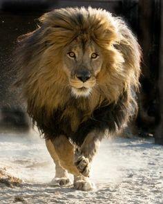 Zeus Lion-African-Panthera leo