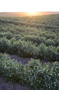 Sunset at our blueberry farm.  Photo courtesy of Gourmet Trading Company.