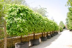 Tilia x euro. 'Pallida' (Pleached) - Kaiserlinde - Pleached and Trained - Majestic Trees