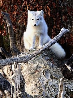 An Arctic white fox on the shore of Evergreen Lake near Hudson, Illinois [Photo: Lenore Sobota/AP]