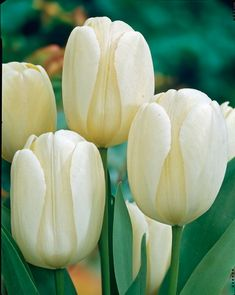 The Giant Darwin Hybrid Tulip Mixture - Giant Darwin Hybrid Tulips - Tulips - Fall 2015 Flower Bulbs Bulb Flowers, Tulips Flowers, Flowers Nature, Spring Flowers, White Flowers, Beautiful Flowers, Tulips Garden, Garden Bulbs, Fruit Garden