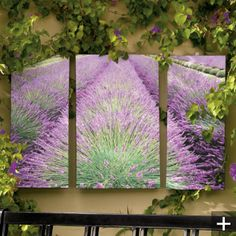 Lavender pics for your patio!