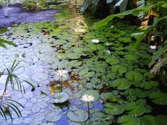 #fiji #flowers #holiday #lily #pond #travel #water lilies