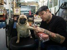 #pug #tattoo frank is getting a tattoo. =P