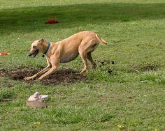 Greyhound Gardens – Forever our Buddy