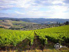 Sangiovese vineyards - Chianti