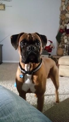 Best looking boxer face I have seen in awhile......such a good looking dog!