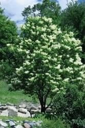 Japanese Tree Lilac, Syringa reticulata, Foliage Dark Green, Mature Height 20 to 25 feet,   Mature Spread 20 to 25 feet,   Soil Well drained, Zones 3-7, Moisture Widely adaptable, Mature Form Spreading, Growth Rate Medium, Sun Exposure Full sun,   Flower Color White (long bloom time)
