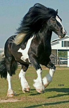 Draft horse - Gypsy Vanner horse