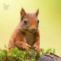 Red squirrel by Theo Vanden Wyngaert on 500px