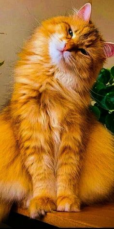 Pretty Cats, Beautiful Cats, Animals Beautiful, Animals And Pets, Cute Animals, Cat Plants, Orange Cats, Maine Coon Cats, Ginger Cats