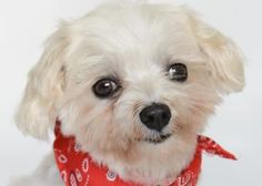 Petango.com – Meet Scout, a 8 years 1 month Maltese available for adoption in COLORADO SPRINGS, CO.  Interested in meeting Scout? Call (719) 495-7679 to speak to an adoption representative at National Mill Dog Rescue