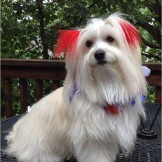 Coton de Tulear ~ Patriotic pup