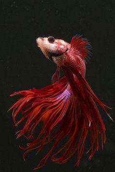 Beta fish / red