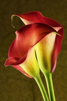 ~~Love ~ two red calla lilies by Leslie McLain~~