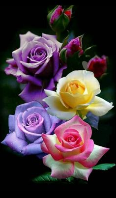 Flowers Beautiful flowers Rose B Beautiful Rose Flowers, Pretty Roses, Rare Flowers, Love Rose, Flowers Nature, Exotic Flowers, Amazing Flowers, Colorful Flowers, Multi Colored Flowers