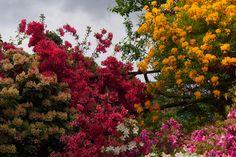 Manycoloured Azaleas in Pollone (Biella)
