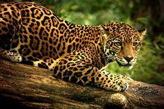 Unusually High Jaguar Densities Discovered: Madre de Dios Amazon Rainforest, Perú   MongaBay - May 16, 2013