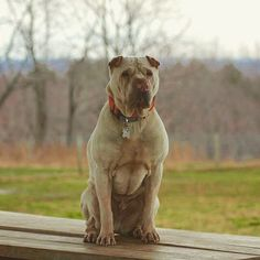 Asher the King on his throne. #evasplaypupsPA #dogs #dogcamp #doggyvacays #doggievacays #dogboarding #handsomeman #sillypooch #playtime #dogsinnature #runfree #sharpeisofinstagram #dogsofinstagram #instapup #adoptdontshop #rescuedog #king #brooklyndogs #endlessmountains #mountpleasant #northeasternPA #PA #pennsylvania #petportraits