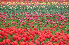 tulip fields by manyfires on Flickr