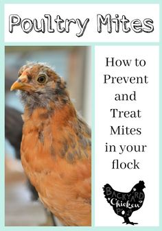 No one wants poultry mites, especially not your chickens. Learn how to prevent and treat these pesky pests!