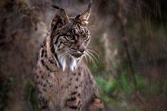 Lynx Pardinus - One of few Iberian lynxes of the planet and at liberty. Photographed in Spain Andalusian Seville. Lynx Pardinus