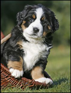 Bernese puppy - beautiful dogs!