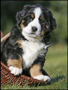 Bernese puppy - beautiful dogs!