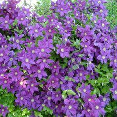 Почему не цветёт клематис? Причины. Что делать в этом случае? Многие факторы определяют успешное появление цветов на этом растении.