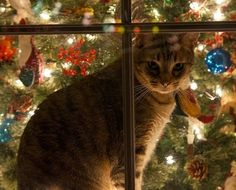 So pretty. Kitty behind a window with the Christmas Tree. Too bad for all of those homeless cats outside. Noel Christmas, Christmas Animals, Christmas Cats, Country Christmas, Cottage Christmas, White Christmas, Crazy Cat Lady, Crazy Cats, Animals And Pets