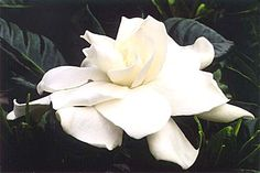 Floating Gardenia Bowl / Products / San Diego's Premier Florist ...                                                                                                                                                                                 More