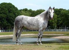 Grey Paso Fino horse