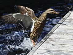 Duck landing on dock Wildlife Photography, Landing, Animals, Animales, Animaux, Nature Photography, Animal, Animais