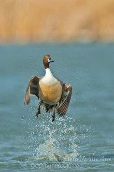 Free picture pintail drake waterfowl bird swimming anas acuta