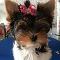 Angel a 12 week old Biewer Terrier. Angel is sporting one of our Acrylic Flower Bows and is looking quite angelic. Angels mom is starting her of right with Snap-In Dog Bows!