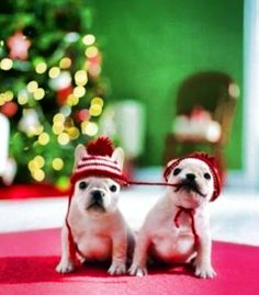 It's a frenchie Christmas!