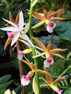 Phaius wallichii  Cette superbe orchidée terrestre est une des vedettes de l'exposition Mille et une orchidées qui se déroule dans la grande serre tropicale du Jardin des Plantes de Paris (Paris 5e).  http://www.pariscotejardin.fr/2013/03/phaius-wallichii/