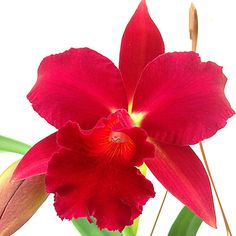 Orchideengarten Karge in Dahlenburg Red Orchids, Orchids Garden, Orchid Varieties, All About Plants, Slc, Exotic Plants, Tropical Flowers, Wild Flowers, Amazing Red