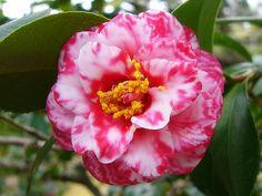 Camellia japonica 'Kagoshima' (Japan, by 1733)