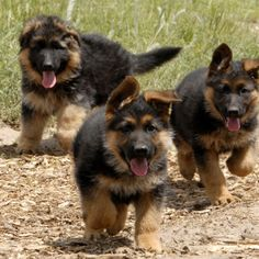 One of two puppies I want desperately. German shepherds<3