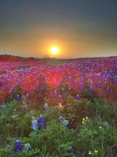 A beautiful sunset overlaying a beautiful meadow of bluebonnet flowers. Landscape Photography, Nature Photography, Texas Sunset, Indian Paintbrush, Texas Forever, Visit Usa, Texas Bluebonnets, Blue Bonnets, Beautiful Sunset