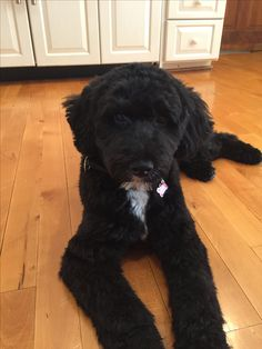 Riley, Portuguese Water Dog, 5 months