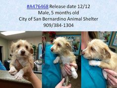 #A476468 Release date 12/12 I am a male, white and tan Terrier mix. Shelter staff think I am about 5 months old. I have been at the shelter since Dec 05, 2014.   https://www.facebook.com/photo.php?fbid=10204076385167486&set=a.10203202186593068&type=3&theater — City of San Bernardino Animal Control-Shelter.