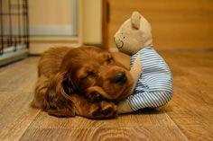 Setterpup met knuffel