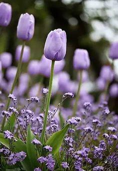 lavender tulios